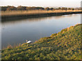 TQ0206 : River Arun at dusk with swan by Stephen Craven