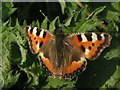 TQ1329 : Small Tortoiseshell butterfly on nettles by Andy Potter