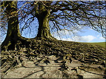 SU1070 : Roots on the bank at Avebury henge by Chris Gunns