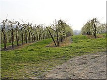 TR0653 : Orchard on Soleshill Road by Penny Mayes