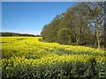 NZ2729 : Field of oilseed rape, Merrington Mill Farm by Oliver Dixon