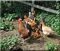 SO7995 : Free Range Poultry in Smallholding, Rudge Heath, Shropshire by Roger  Kidd
