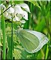 SU0017 : Small white (Pieris rapae) on nettle by Simon Barnes