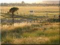SU6804 : Cows Grazing Farlington Marshes by Chris Gunns