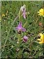 SE9509 : Bee orchids by Miranda Hodgson