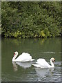 SE6938 : Swans on the River Derwent by Sue Taylor