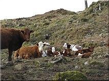 NM7047 : Cattle, Achranich by Richard Webb