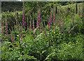SO6920 : Ranks of  foxgloves by Pauline E