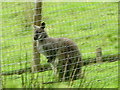 SH8713 : Wallaby in Welsh Valley! by liz dawson