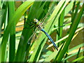 SU1386 : Emperor Dragonfly, Plaum's Pit, Cheney Manor, Swindon by Brian Robert Marshall