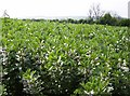 ST6934 : Broad beans by Graham Horn