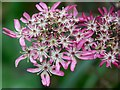 TF4575 : Umbellifer in the woods at Alford by Dave Hitchborne