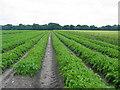 TM5284 : Potato Crop, Benacre by David Higgitt