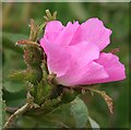 NJ5851 : Wild Rose by Anne Burgess