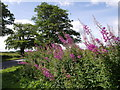 SS6309 : Rosebay Willowherb at Berner's Cross by Derek Harper