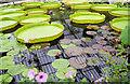 TQ1877 : Giant water lily pads Royal Botanic Gardens, Kew. by Steve  Fareham