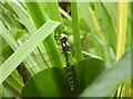 SU2913 : Southern hawker dragonfly by Val Pollard
