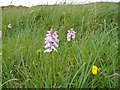 NG4451 : Heath Spotted Orchid by John Wilson