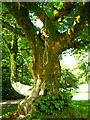 NJ5429 : The Gallows tree, known as the Dule Tree, at Leith Hall by Martyn Gorman