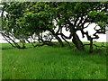 NU1520 : Trees on Crag Hill, near Brockleyhall Moor by Lisa Jarvis