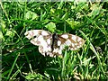 SU2283 : A Marbled White butterfly, Hinton Parva combe by Brian Robert Marshall