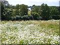 TQ1873 : Wildflower Meadow, Petersham by Colin Smith