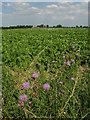 TG1533 : Farmland near Squallham by Evelyn Simak