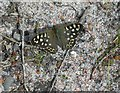 NH9851 : Speckled Wood by Mary and Angus Hogg