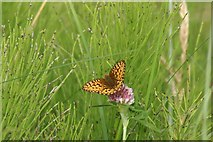 NT4681 : Dark Green Fritillary, Aberlady by Mike Pennington