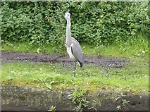 SJ7797 : Another tame heron by Graham Horn