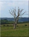 SO0087 : Dead oak tree by Stephen Whittaker and Katharine Oakeshott