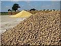 TG2332 : Potato crop by Evelyn Simak