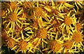 NJ9717 : Common Ragwort (Senecio jacobaea) by Anne Burgess