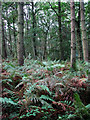 TG1035 : A thicket of ferns by Evelyn Simak