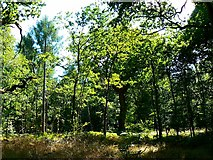 SU2266 : Savernake Forest by Brian Robert Marshall