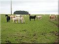 NY5074 : Bullocks at Cumcrook Farm by Oliver Dixon