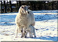SD1886 : Ewe with two lambs in the snow by Andrew Hill