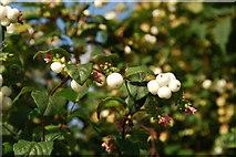 SH3537 : Aeron yr Eira (Symphoricarpos rivularis/albus) Snowberry by Alan Fryer