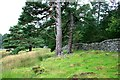 NJ0428 : Mature Scots Pine and Wall, Heathfield by Mick Garratt