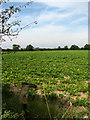 TG3625 : View west across sugar beet and wellie boot by Evelyn Simak