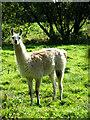 TG3626 : Llama (Lama glama) by Evelyn Simak