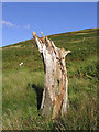 NY3387 : Old tree stump in Glenbeg Sike by Walter Baxter
