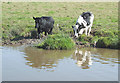 SJ8560 : Cattle by the Macclesfield Canal, Cheshire by Roger  Kidd