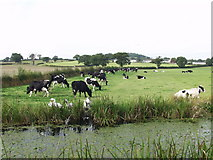 SJ2618 : Dairy cows grazing and a family  of swans resting by John Haynes