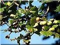 TF9623 : Acorns on an oak tree by Evelyn Simak