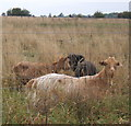TM0663 : Goats in rough grazing by Andrew Hill