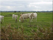 TM4599 : Cows grazing on St Olaves marshes by Helen Steed