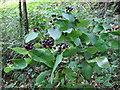 SM9736 : Tutsan berries by ceridwen