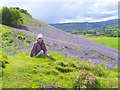NH5158 : Bluebell time on Knock Farrel by sylvia duckworth