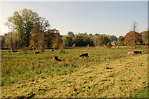 SK2375 : Cattle in the meadows near Stoney Middleton by Roger Temple